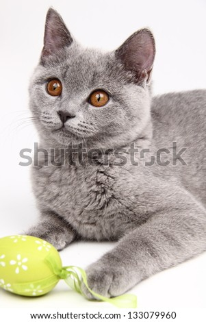 Funny cat British breed with straight ears - stock photo