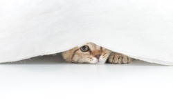 Funny cat hidden under small white curtain