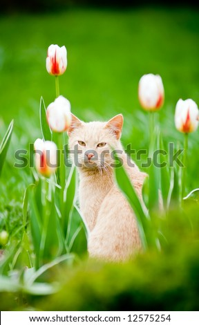 Funny cat outside in the tulips field