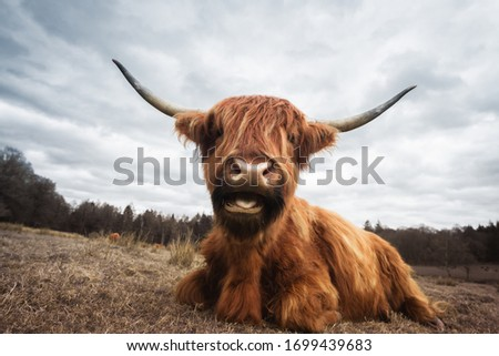 Funny cattle on the meadow funny cow ストックフォト ©