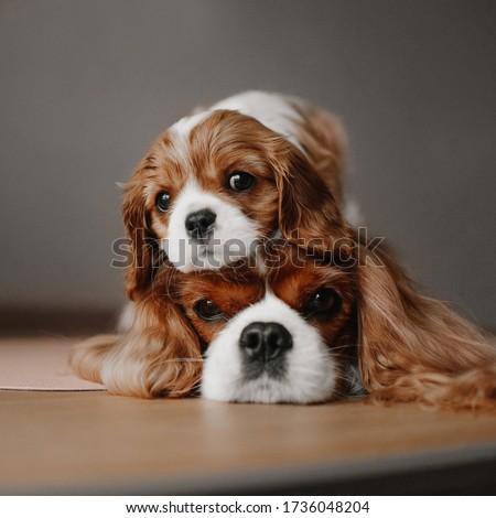 funny cavalier king charles spaniel puppy posing on top of mothers head Photo stock ©