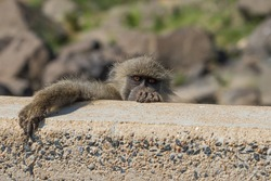 Funny chacma baboon peeking and climbing over a wall, looking cautious and sneaky in Kruger National Park, South Africa