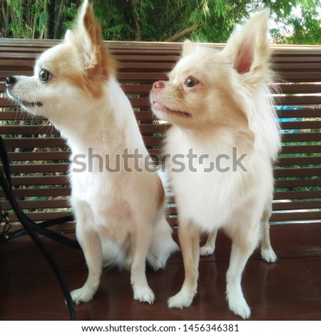 Funny chihuahua dog. Chihuahua Double pack. #1456346381
