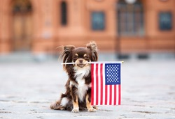 funny chihuahua dog holding American flag