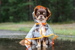 funny chihuahua dog sitting in a puddle in rain coat