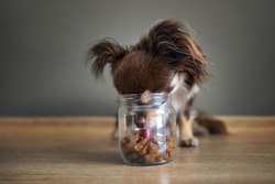 funny chihuahua dog stealing dog treats from a jar, indoors shot on the floor