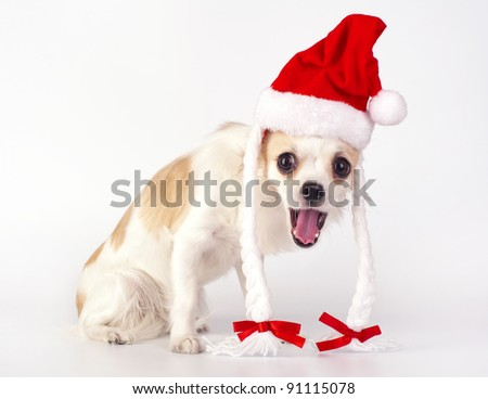 funny Chihuahua dog with Santa hat, pigtails, ribbons and opened mouth to sing Christmas songs on white background