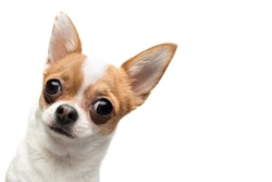 Funny Chihuahua peeping out the frame, against white background