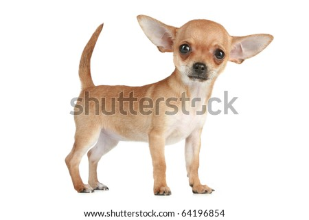 Funny Chihuahua puppy standing on white background