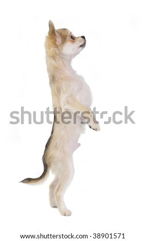 funny chihuahua puppy standing up isolated on white