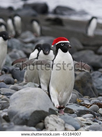 Funny Christmas Penguins wearing Red Santa Clause hat. - stock photo