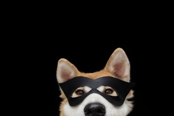 Funny close-up akita dog celebrating new year, halloween or carnivai dressed as a black hero. Isolated on black background.