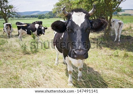Funny close-up cow portrait on the meadow
