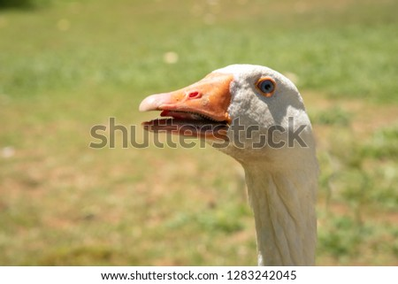 funny close up shot of the head of a white goose with beak partly open showing tongue