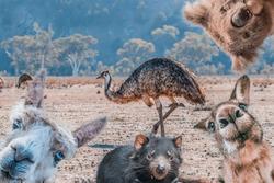 Funny collage of animals living in Australia - Emu, Koala, Kangaroo, Tasmanian Devil, and Alpaca