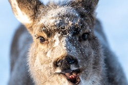 Funny, comedic face of a mule deer in winter season with snow, ice, icy face and mouth open.