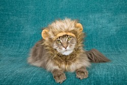 Funny comical cat wearing lion mane wig with yellow ears on blue green background