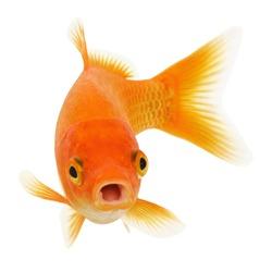 Funny Common Goldfish Isolated on White Background