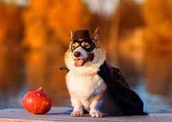 funny Corgi dog in costume superhero pumpkin Halloween party sitting in autumn Park