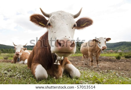 funny cow. stock photo : Funny cow