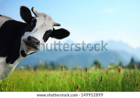 Funny cow on a green meadow looking to a camera with Alps on the background