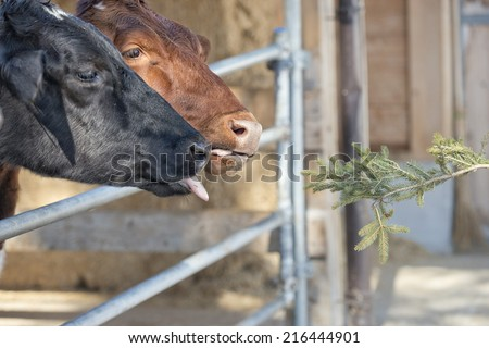 Funny Cow portrait while licking pine tree branch