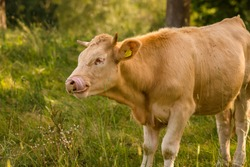 funny cow with tongue in a meadow