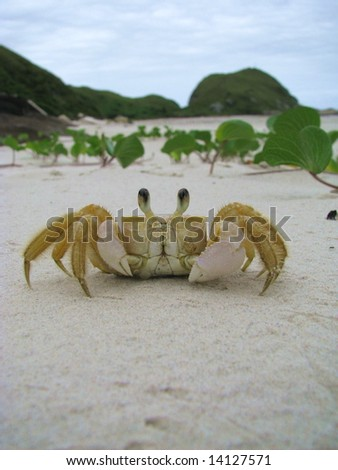 Funny crab in a sandy wild beach of Honey Island (Ilha do Mel), Brazil