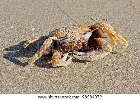 Funny Crab On The Beach In Varkala  Kerala  India   Stock Photo