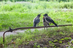 Funny crow family - adult feeding his kids