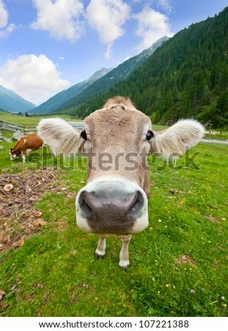 Funny curious cow head