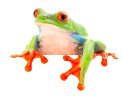 funny curious red eyed tree frog, Agalychnis callydrias a beuatiful colored animal from the rain forest of Costa Rica.