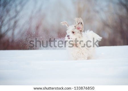 funny curly super dog playing in winter
