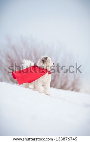 funny curly super hero dog wearing the red cloak