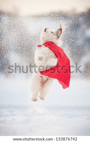 funny curly super hero dog wearing the red cloak jumping in the sky