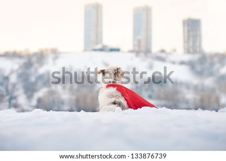 funny curly super hero dog wearing the red cloak looks at the city