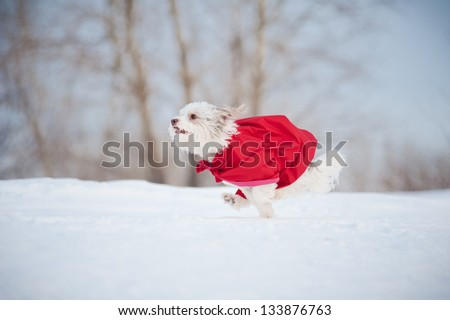 funny curly super hero dog wearing the red cloak running fast in winter