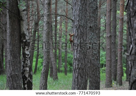 Funny Cute American red and gray squirrel in summer climbing a tree (Sciurus vulgaris, rodent). Curious red squirrel in the tree trunk in natural habitat #771470593