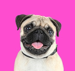 Funny, cute and playful pug dog on pink background