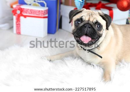Funny, cute and playful pug dog on white carpet near Christmas tree