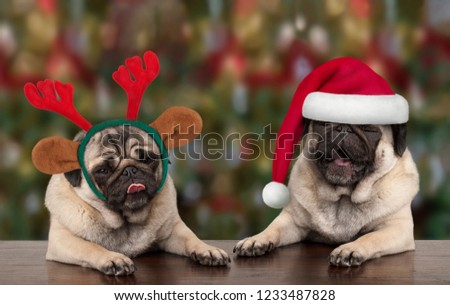 funny cute Christmas pug puppy dogs leaning on wooden table, wearing santa claus hat and reindeer antlers, with seasonal background