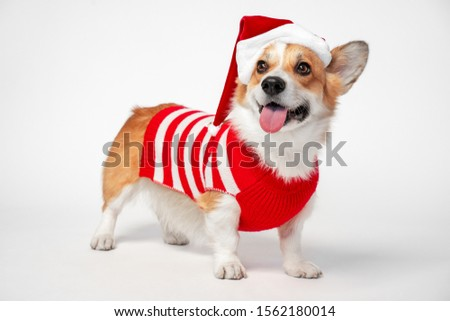 Funny cute corgi dog stands on white background dressed in red and white Santa Claus costume. Pretty smiling dog face expression. New year or Christmas holidays concept.