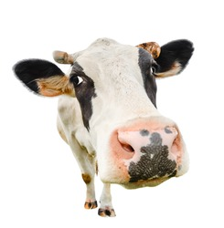 Funny cute cow isolated on white. Talking  black and white cow close up. Funny curious cow.  Farm animals. Pet cow isolated on white close looking at the camera