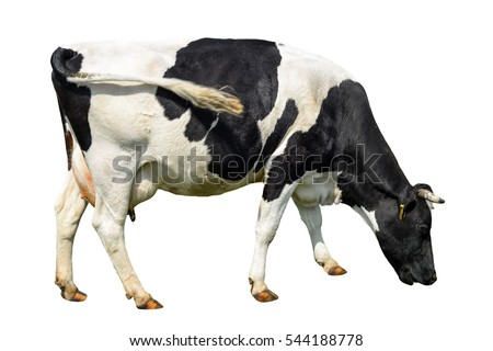 Funny cute cow isolated on white. Talking black and white cow. Funny curious cow. Farm animals. Cow, standing full-length in front of white background
