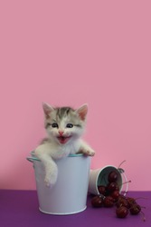 Funny, cute little kitten sits in a bucket on a pink background, copy space. Cherry is scattered around. Beautiful charming cat. Domestic animal, home pet.