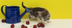 Funny, cute little  kitten sniffs the cherries, next to it is a watering can. Yellow background, copy space. Beautiful charming cat. Domestic animal, home pet.