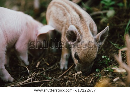 Funny cute little piglets at an animal farm #619222637