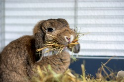 Funny cute lop ear rabbit in a cage holding a lot of hay in its mouth. Bunny with hanging ears.