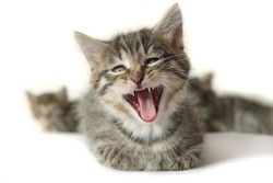 funny, cute lying kitten with wide open mouth, that looks crying, singing, laughing or yawning, with other blurry kittens  isolated on white background.