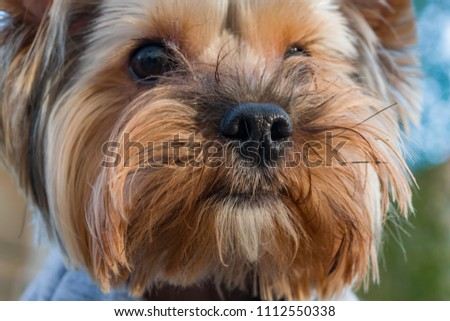 Funny cute shaggy red pet dog, head close-up, on blurred background  - Shutterstock ID 1112550338